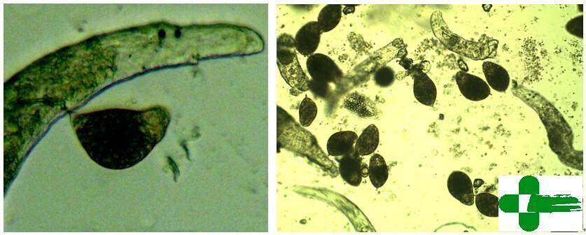 除部分三代虫科的种类为胎生以下,大部分单殖吸虫为卵生.